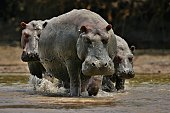 Hippos in the beautiful nature habitat, this is africa, african wildlife, endangered species, green lake