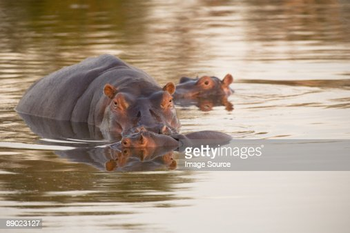 Hippos in water : Stock Photo