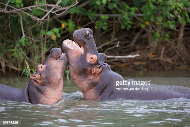 Hippos play-fighting