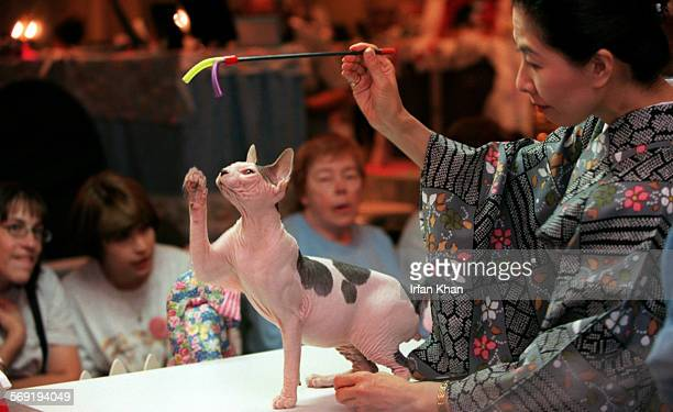 Hisako Yamada in Japanese dress judges agility of a Sphynx cat at a cat show organized by the International Cat association and Kat Knappers Cat Club...