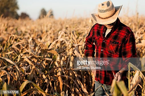 Hispanic farmer examining crops in field : Stock Photo