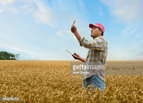 Hispanic farmer examining wheat stalk in field