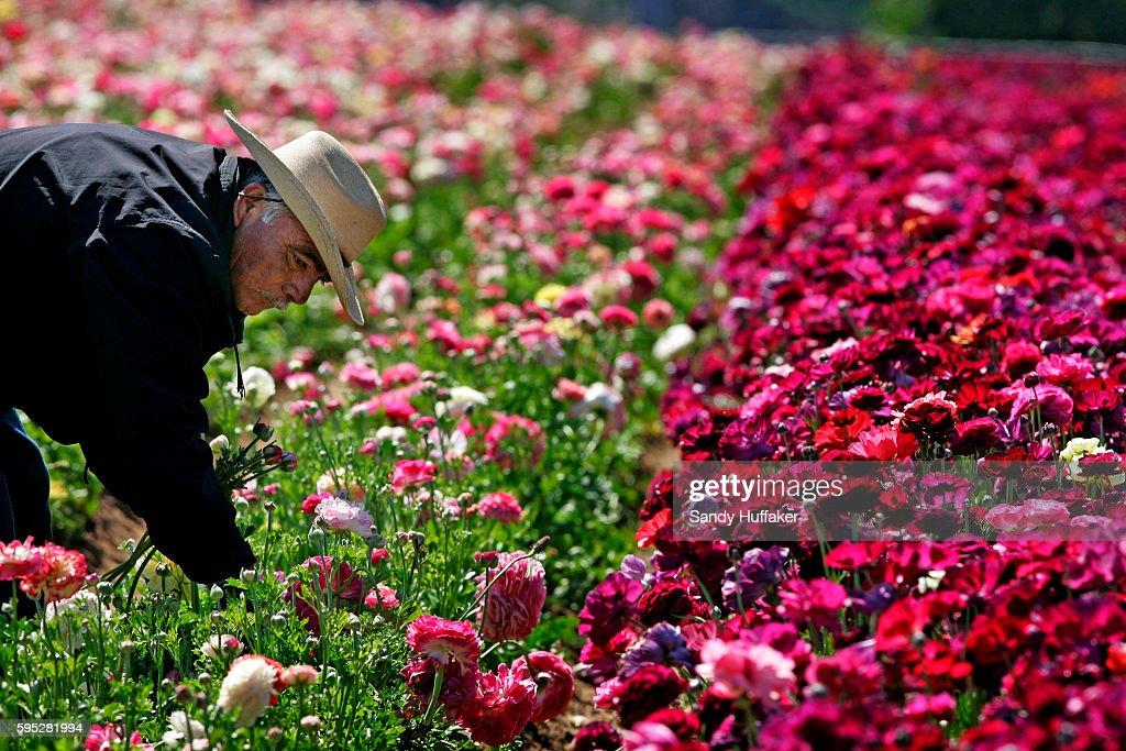 A Hispanic farmworker harvests ranaculous bulbs at the Carlsbad Flower Fields in Carlsbad California