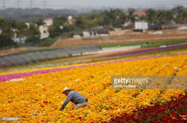 Hispanic farmworker harvests Ranunculus bulbs at the Flower Fields April 28 2006 in Carlsbad California The debate in Washington continues over...