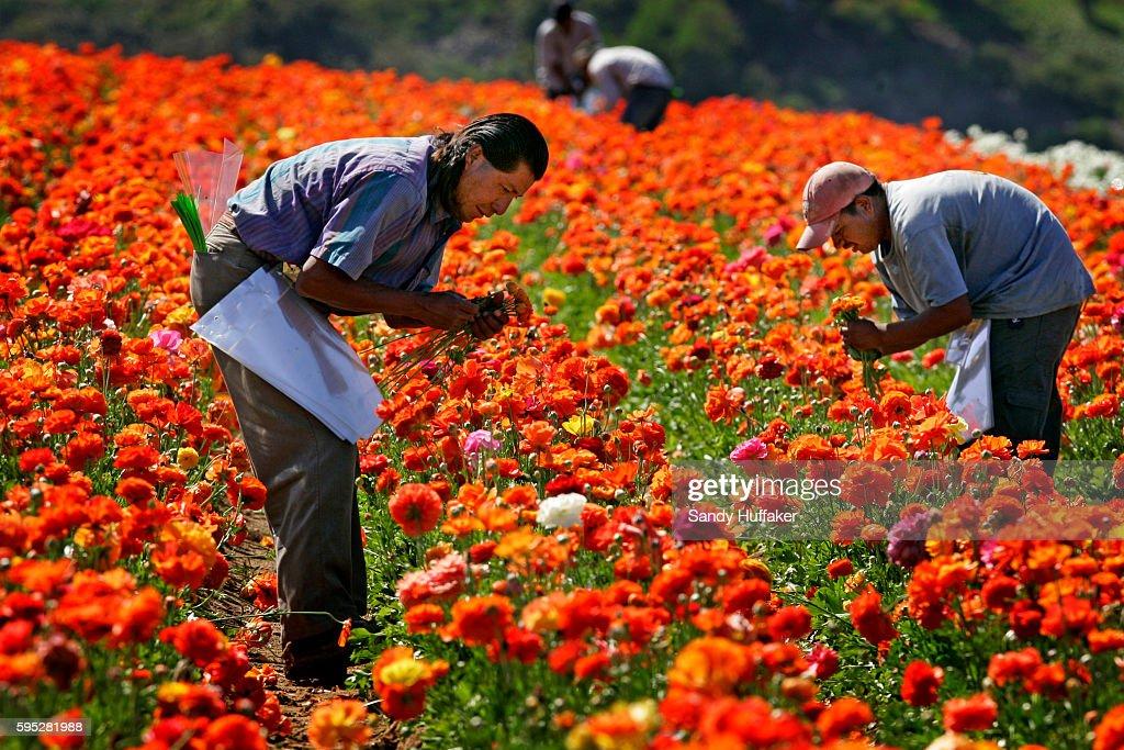 Hispanic farmworkers harvest ranaculous bulbs at teh Carlsbad Flower Fields in Carlsbad California