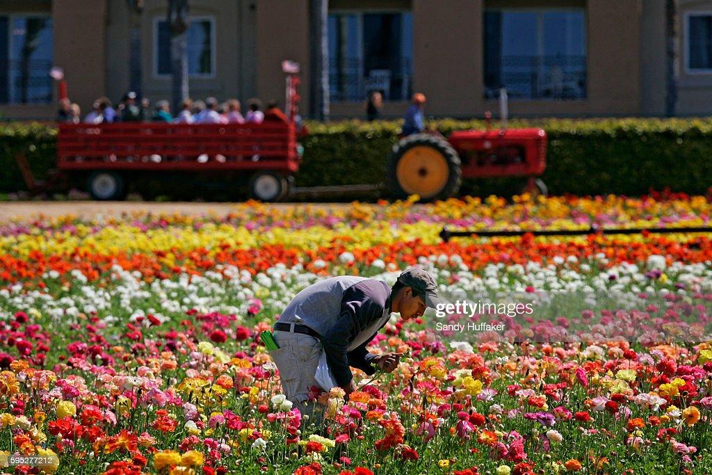 Hispanic farmworkers harvest ranaculous bulbs at the Carlsbad Flower Fields in Carlsbad California
