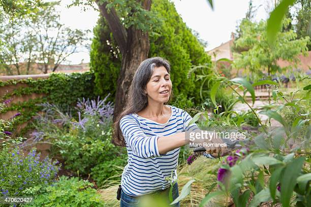 Hispanic woman pruning flowers in garden