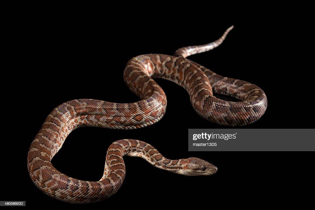 Hispaniolan boa, Chilabothrus or epicrates striatus : Stock Photo
