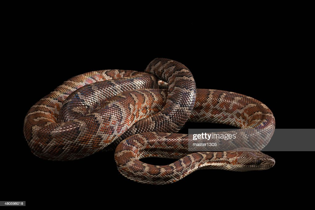 Hispaniolan boa, Chilabothrus or epicrates striatus : Stock Photo