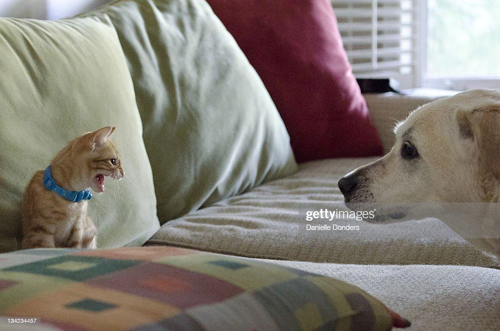 Hissing at dog : Stock Photo