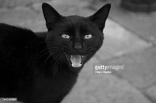 Hissing black cat