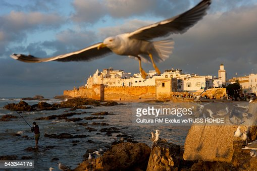 Historic port at sunset with flock of seagulls, Essaouira, Morocco