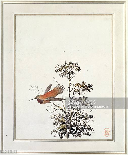 History of Exploration 18th century Hummingbird Engraving from a drawing by Webber Third voyage of James Cook