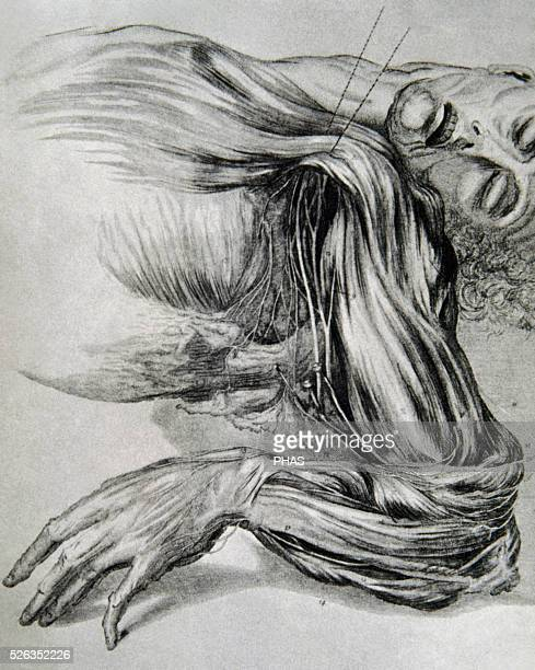 History of medicine Drawing from a study of anatomy Human muscles of the arms 18th century