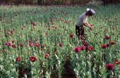 Hmong boy from a remote village a three day walk from Muang Sing cultivates opium poppies high up in Northern Laos near the border with Burma...