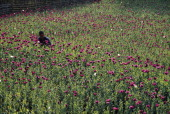 Hmong villager from a remote region a three day walk from Muang Sing cultivates opium poppies high up in Northern Laos near the border with Burma...