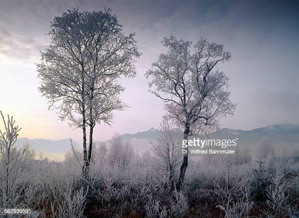Hoarfrost in Murnau Moor, in front of Ettaler Mandl, Upper Bavaria, Bavaria, Germany