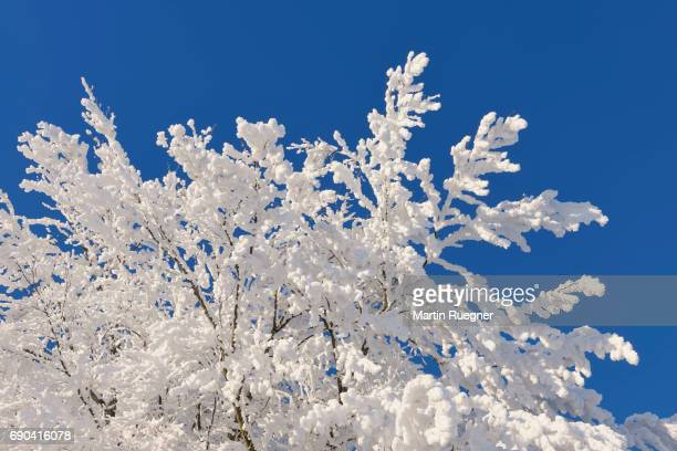 Hoar-frost on tree branches.