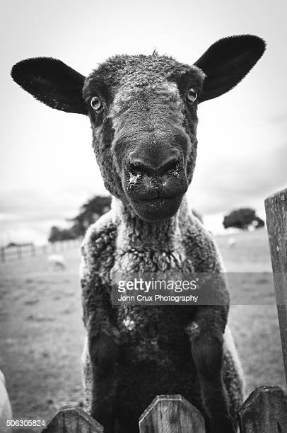 Hobbiton Lamb