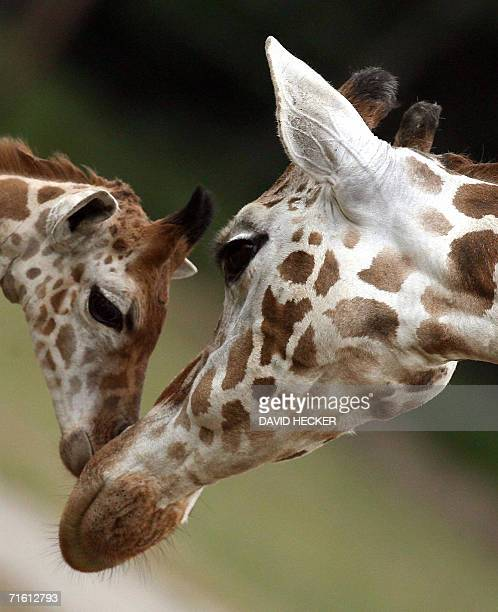 Baby giraffe 'Alex' is cuddled by his mother 'Gea' 09 August 2006 at the SerengetiPark in Hodenhagen northern Germany It was the first openair...