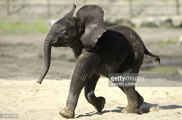 Six weeks old African elephant 'Bou Bou' enjoys his first exploration of the openair enclosure 10 May 2006 at the Serengeti park in Hodenhagen...