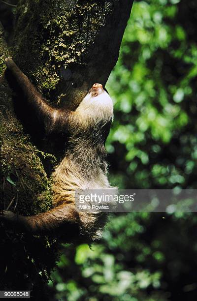 hoffmans two-toed sloth