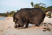 A pig on the beach in Koh Phangan, Thailand