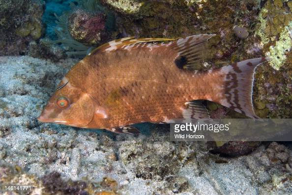 Hogfish In Mottled Color Phase Lachnolaimus Maximus Curacao Netherlands Antilles Pictures