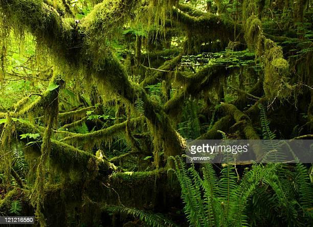 Foresta pluviale di Hoh nel Parco Nazionale Olympic