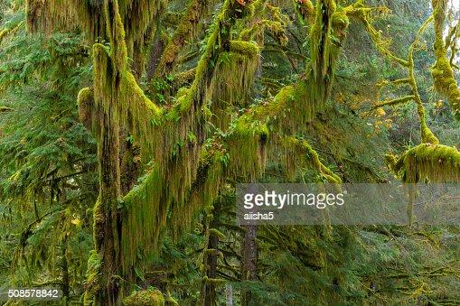 Hoh Rainforest view : Stock Photo