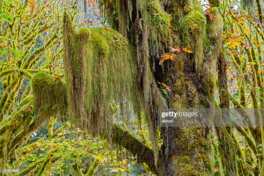 Hoh Rainforest view : Stockfoto