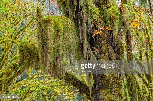 Hoh-Regenwald Blick : Stock-Foto