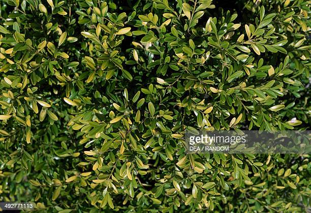Hohman's Dwarf Buxaceae
