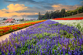 The Hokkaido sea fields, Japan, beautiful flowers in the summer each year, attracting a lot of tourists
