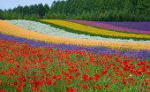 Hokkaido Summer Flower Fields