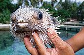 Holding a blowfish, Mahaea Motu fish farm.