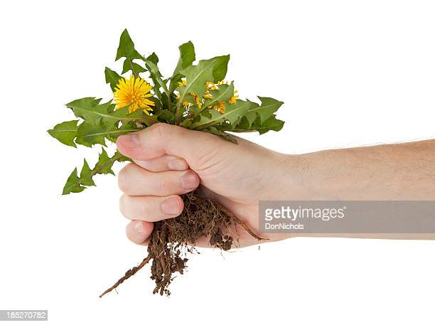 Holding a Dandelion by the Roots