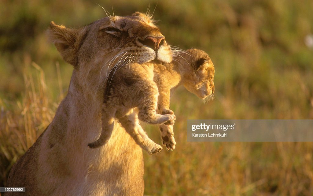 Holding cub in mouth : Stock Photo