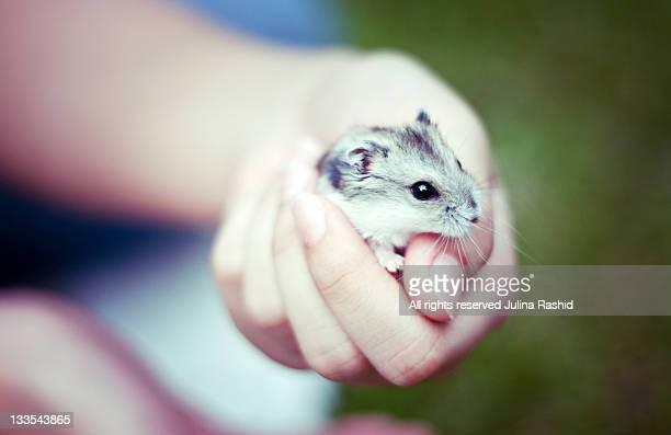 Holding cute pet baby hamster