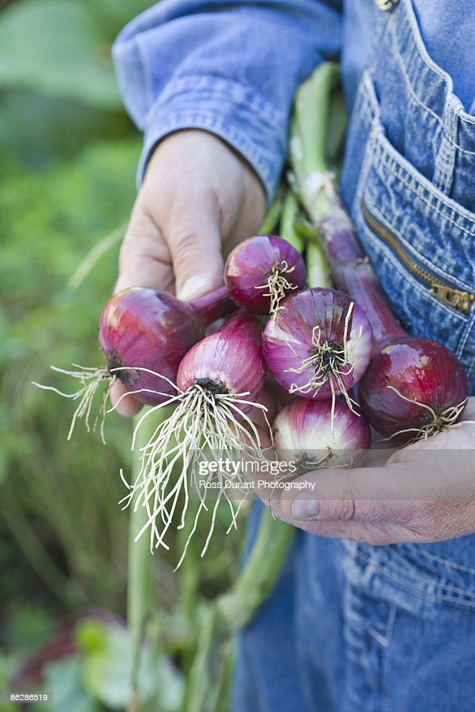 Holding red onions : Stock Photo
