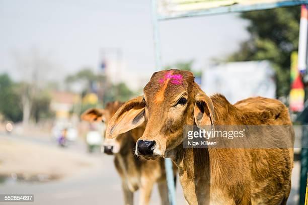 Holi cows