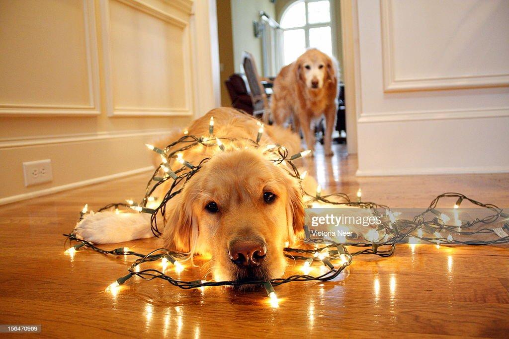 Cute Light Golden Retriever Holiday Helper ...