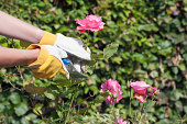 Holland, Goirle, woman using pruning shears for cutting rose