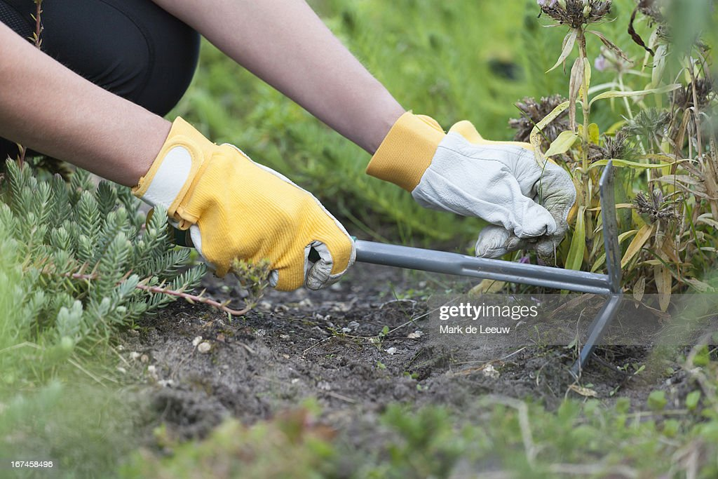 Holland, Goirle, woman weeding : Stock Photo