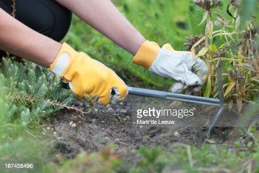 Holland, Goirle, woman weeding : Stock Photo