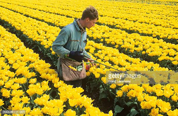 Holland, Lisse, farmer spraying yellow tulips