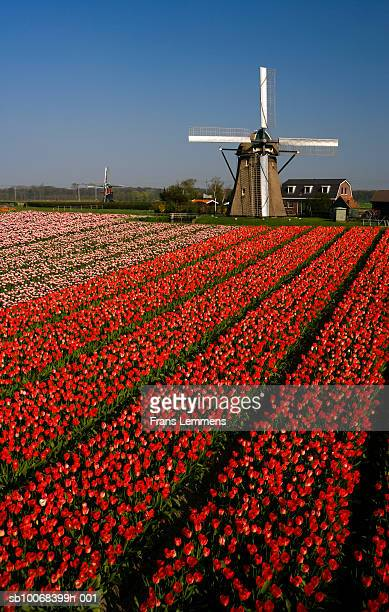 Holland, Lisse, tulip field and windmill