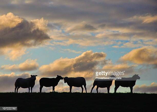 Holland:Sheep on the dike