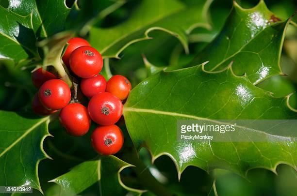 Holly Beeren und glänzend grüne Blätter Nahaufnahme
