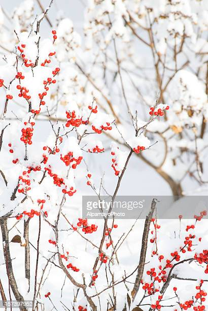 Holly berries (Winterberry) in the winter